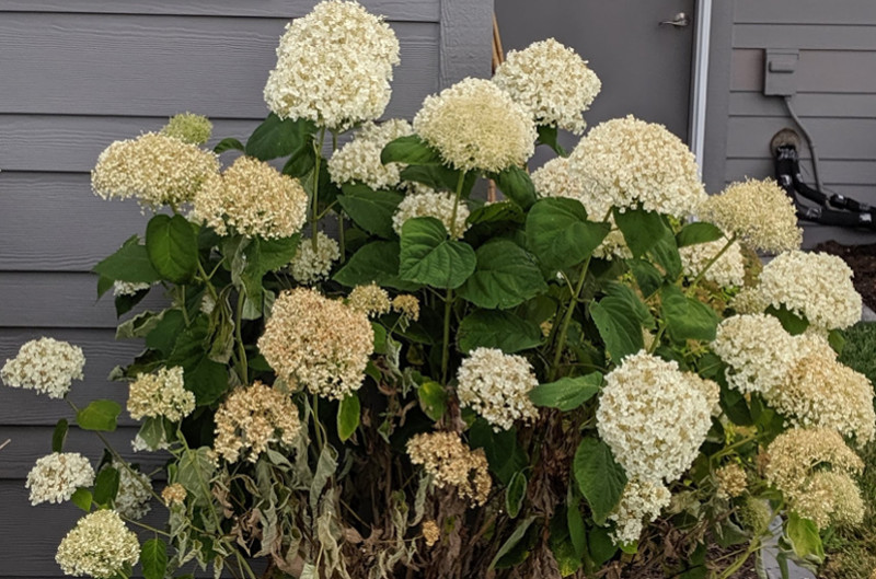 hydrangea-after-being-watered.jpg