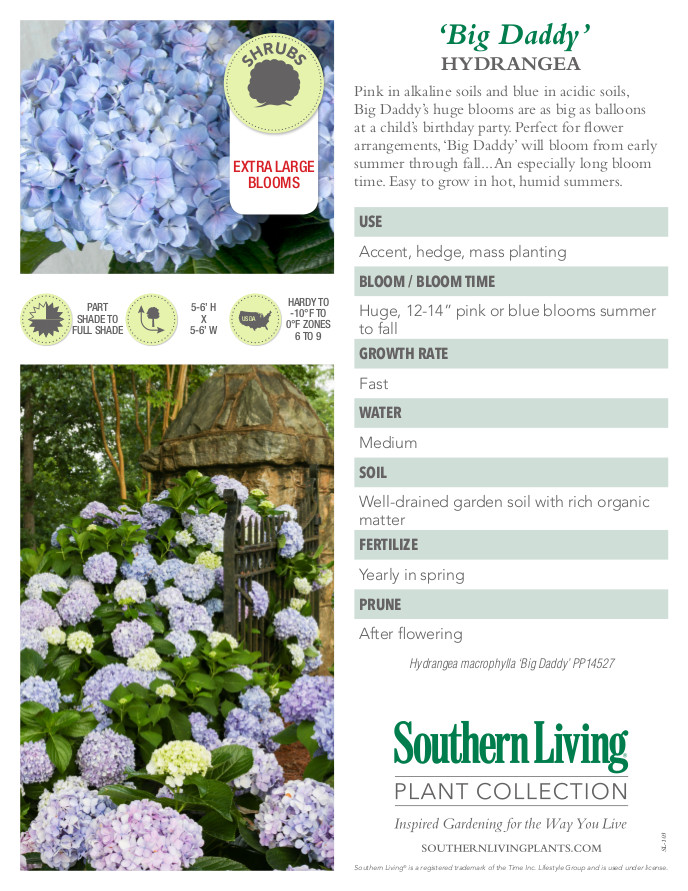 Big Daddy Hydrangea Plant Facts