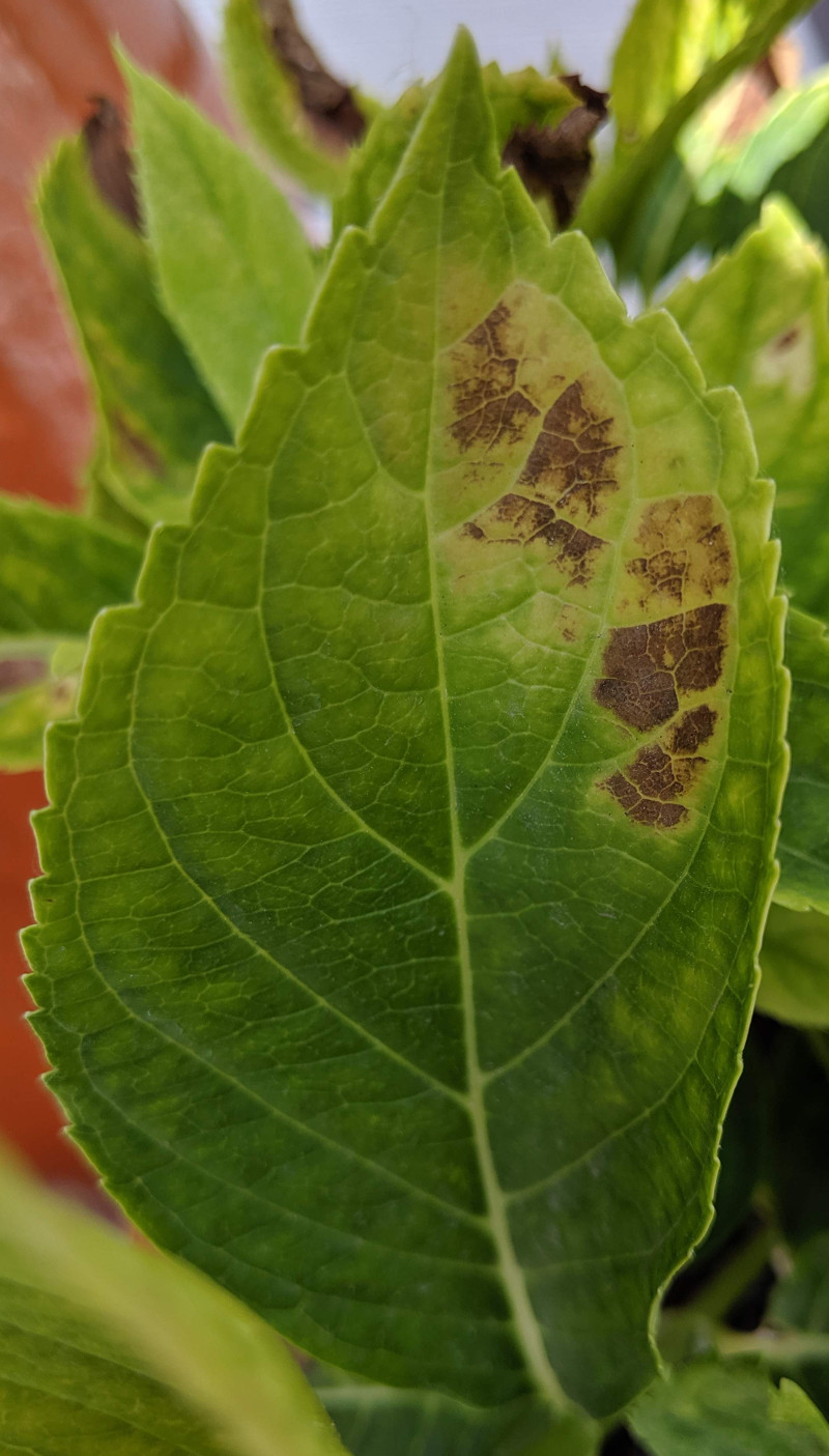 Common Problems With Hydrangea Leaves Plant Addicts