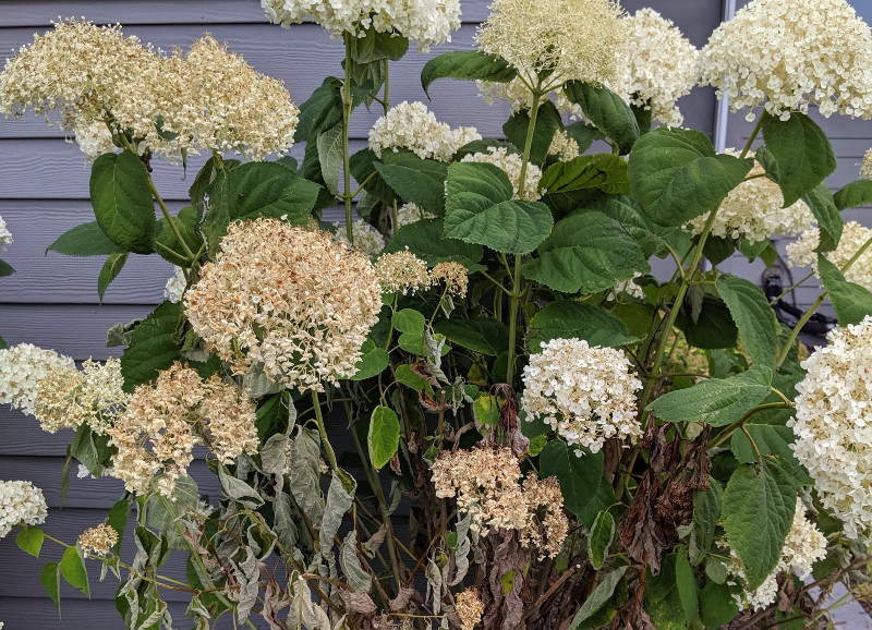 hydrangea-shrub-dried-out-with-flowers-dying.jpg