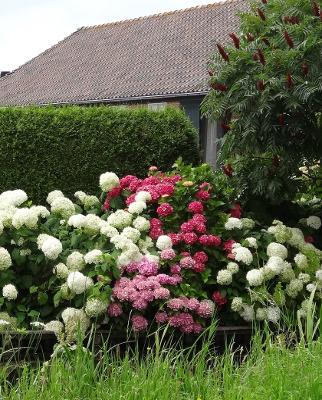 Plants To Mix With Hydrangeas Plant Addicts
