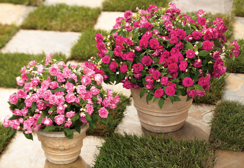impatiens-in-decorative-planters.jpg
