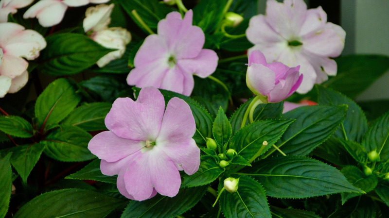 impatiens-plants-blooms-and-flower-buds.jpg