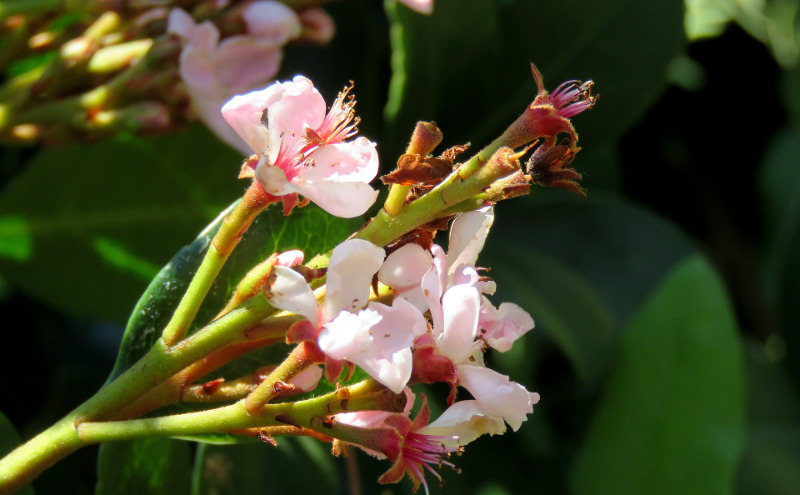 indian-hawthorn-branch-with-blooms-and-flower-buds.jpg