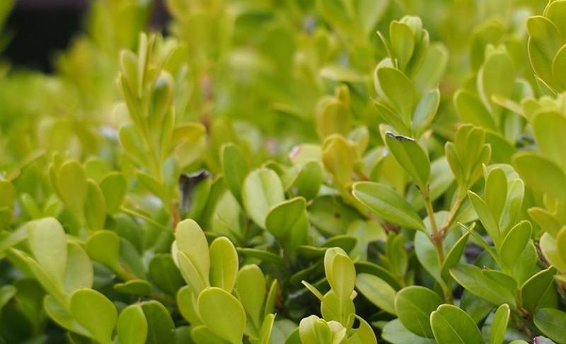 japanese-boxwood-leaves-up-close.jpg