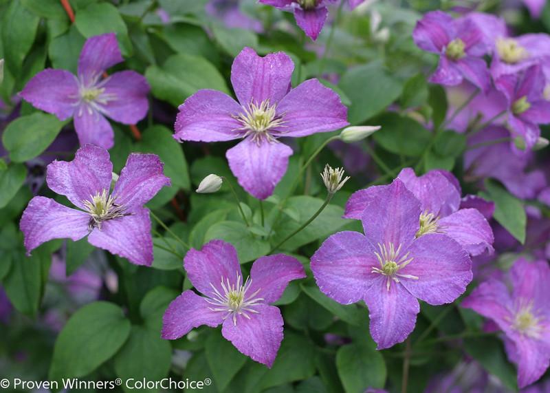jolly-good-clematis-vine-purple-flowers-1-15117.1551324076.jpg