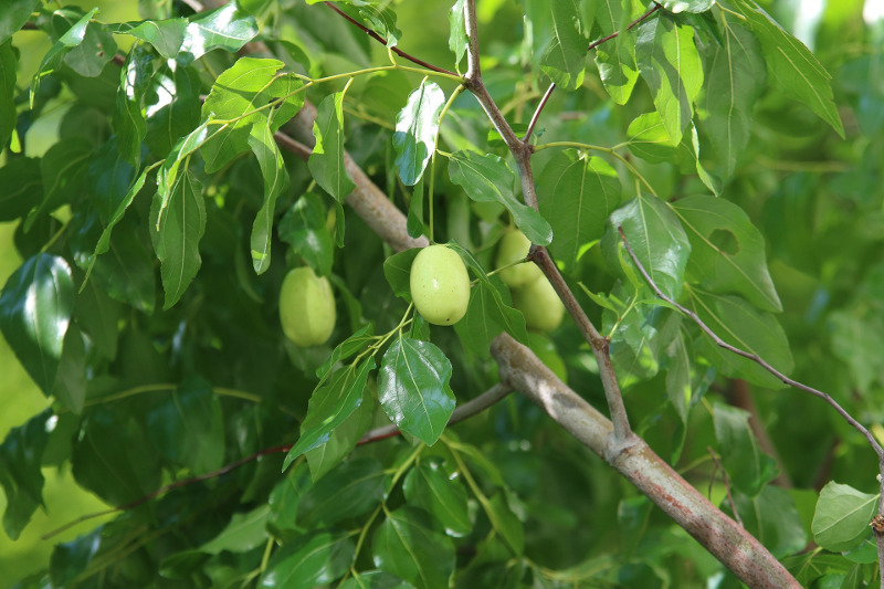 jujube-tree-branches-and-fruit.jpg