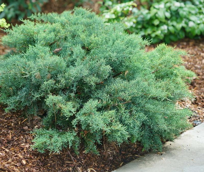 juniper-shrub.jpg