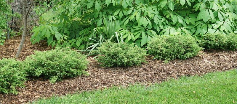 juniper-shrubs-planted-in-a-border.jpg