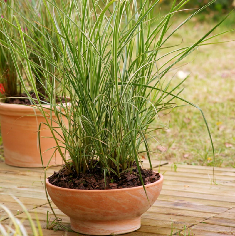 karl-foerster-feather-reed-grass-in-planter.png