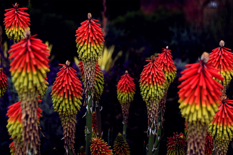 kniphofia-blooms-and-flower-petals-close-up.jpg