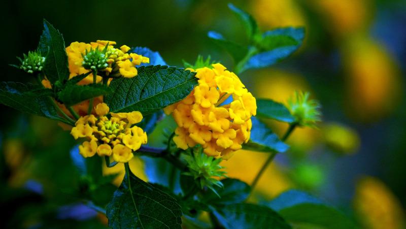 lantana-blooms-and-spent-flower-buds.jpg