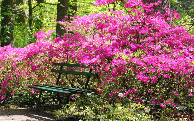 large-azaleas-blooming-in-the-forest.jpg