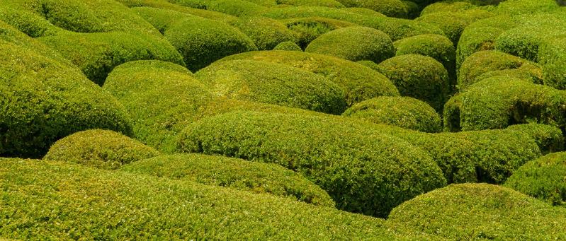 large-boxwood-bushes-growing-together.jpg