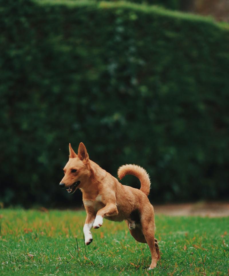 large-boxwood-shrub-with-dog-in-the-yard.jpg