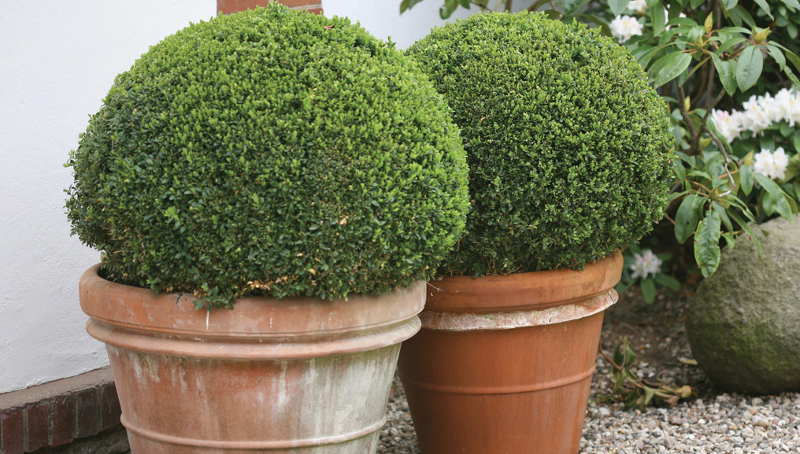 large-boxwood-shrubs-growing-in-terra-cotta-planters.jpg