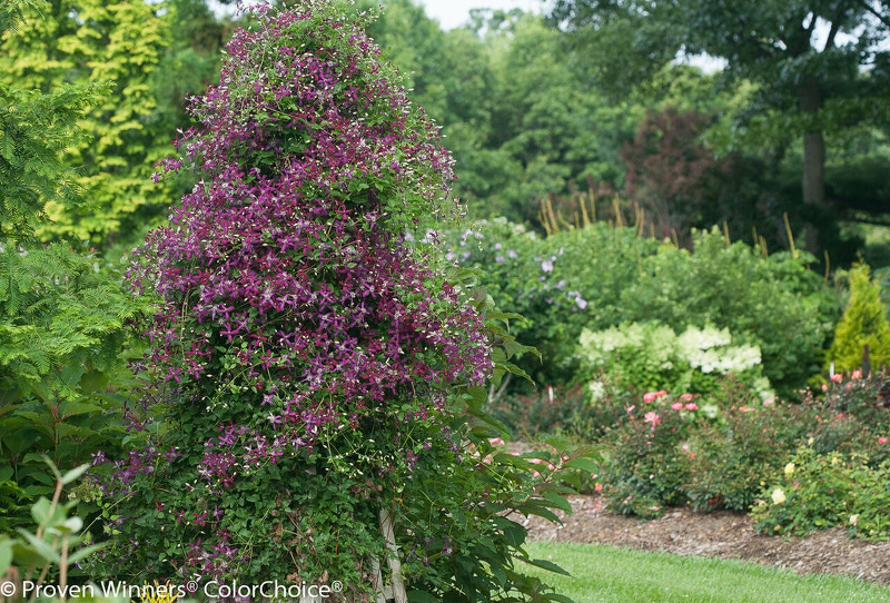 large-clematis-on-tall-wooden-trellis.jpg
