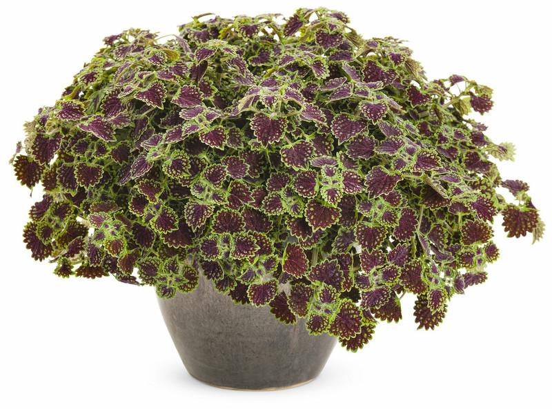 large-coleus-plant-in-a-planter.jpg