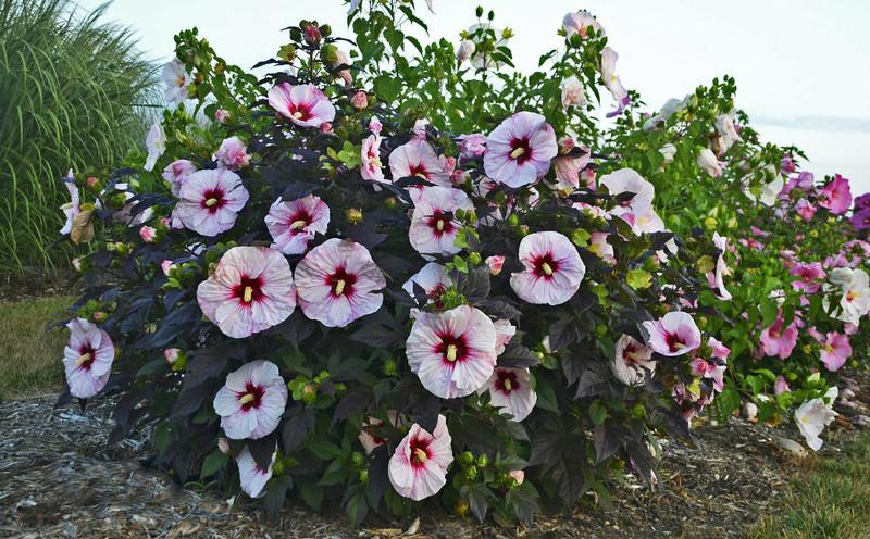 large-hibiscus-shrub-flowering.jpg