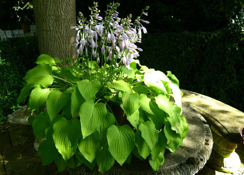 large-hosta-with-tall-blooms.jpg