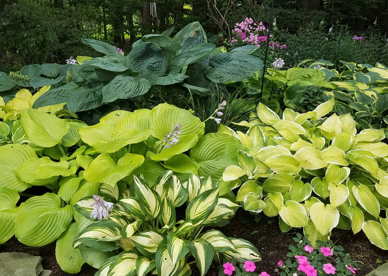 large-hostas-in-shade-garden.jpg