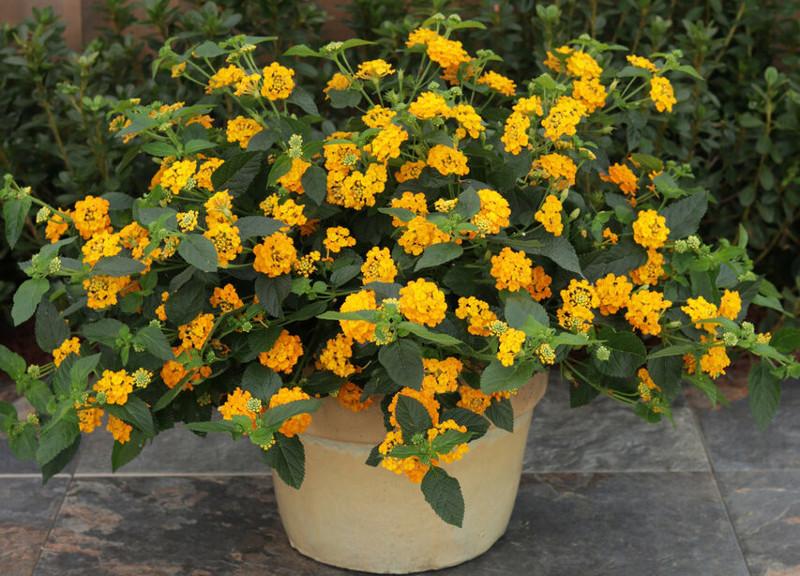 large-lantana-plant-blooming-in-a-garden-planter.jpg