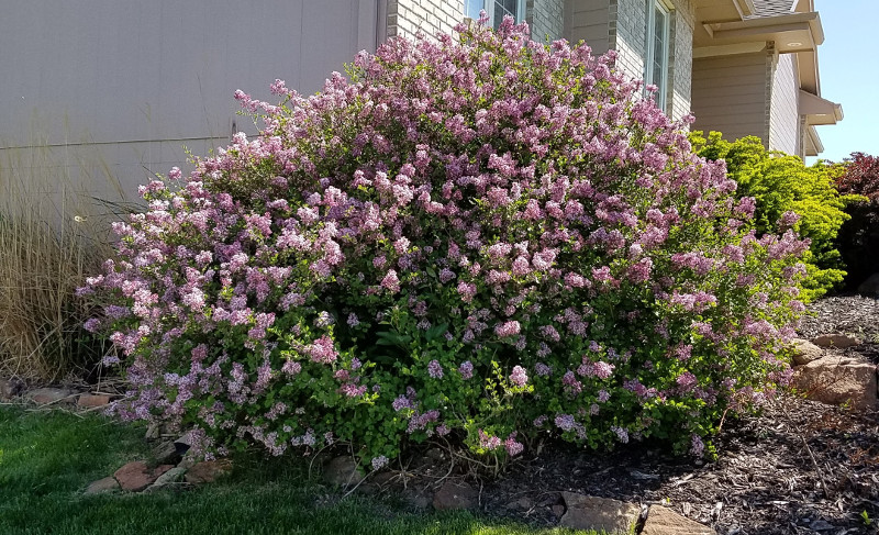 large-lilac-shrub-covered-in-flowers.jpg