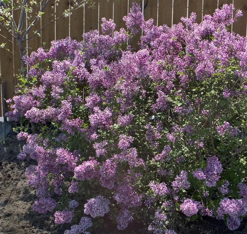 large-lilac-shrub-flowering.png