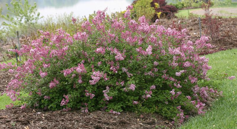 large-lilac-shrub.jpg