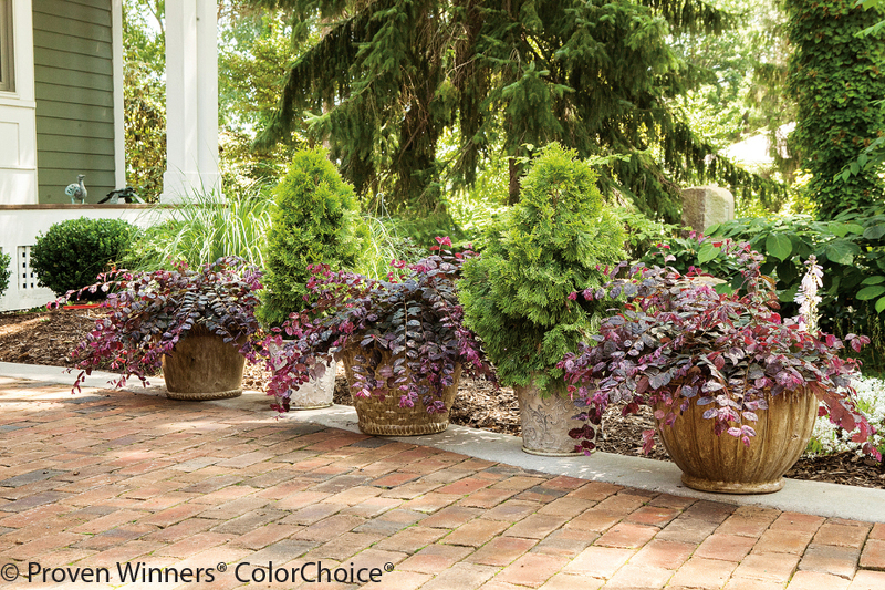 large-loropetalum-growing-in-garden-planters.jpg