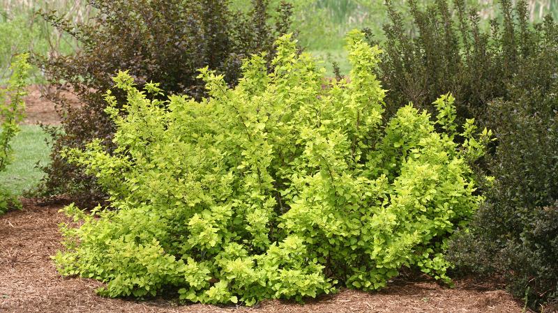large-ninebark-bush-in-the-landscaping.jpg