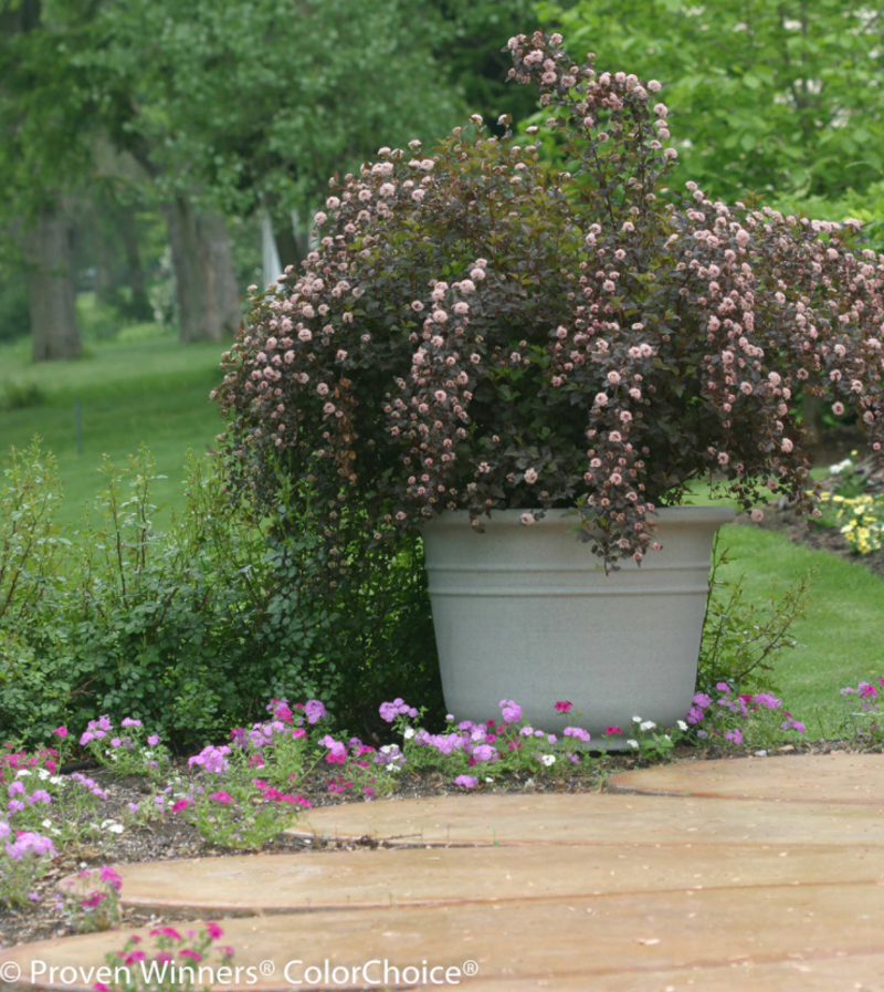 large-ninebark-shrub-blooming-in-a-garden-planter.png