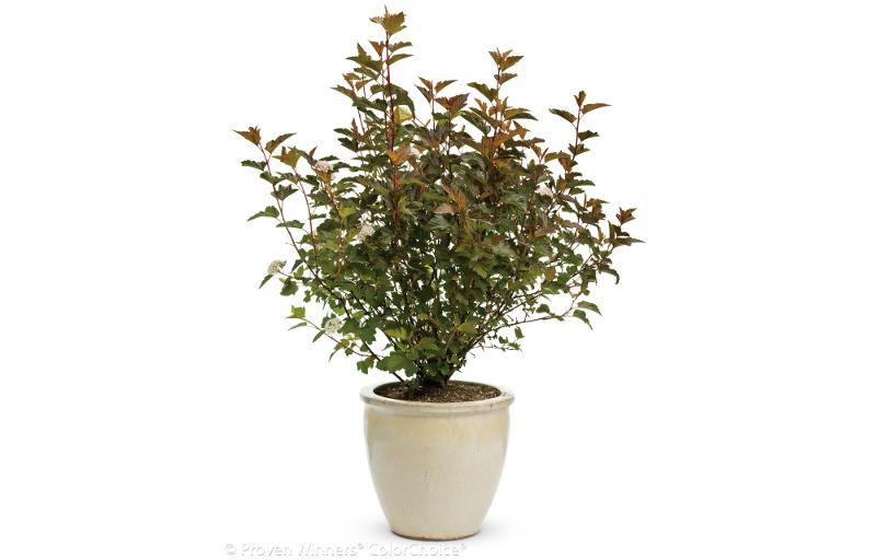 large-ninebark-shrub-in-a-planter.jpg