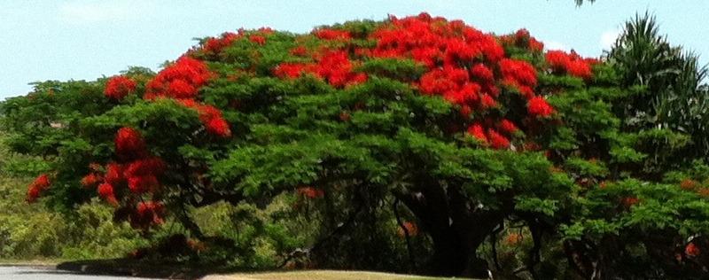 large-poinsettia-shrub.jpg