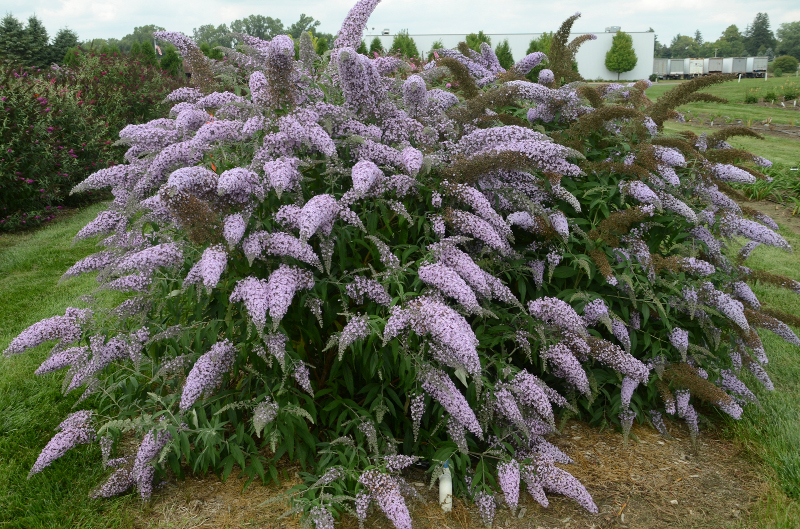 large-purple-blooming-butterfly-bush.jpg