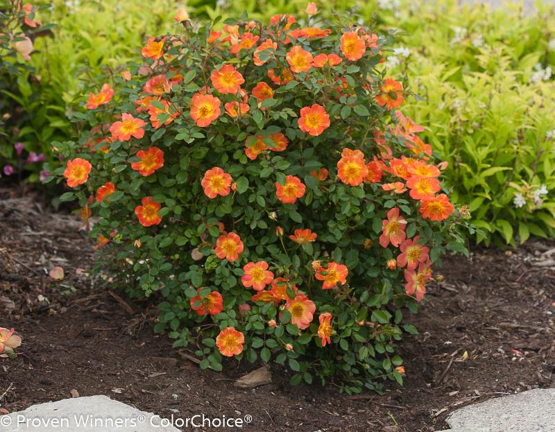 large-rose-shrub-flowering.jpg