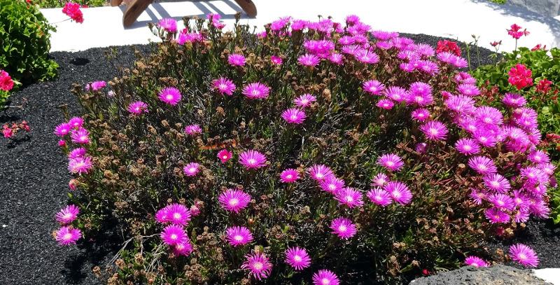 large-sedum-growing-in-dry-rock-garden-in-the-sunlight.jpg