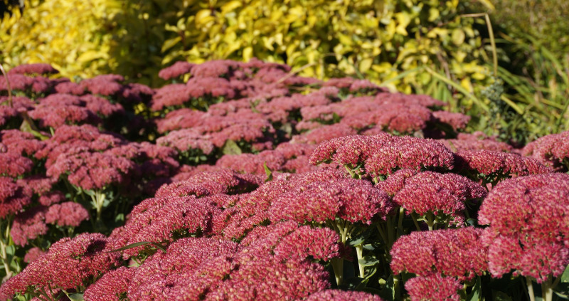 large-sedum-plants-that-need-to-be-divided.jpg
