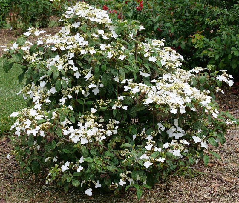 large-viburnum-shrub-flowering-in-the-spring.jpg