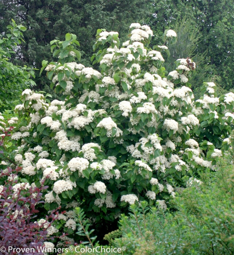 large-viburnum-shrub-flowering.jpg
