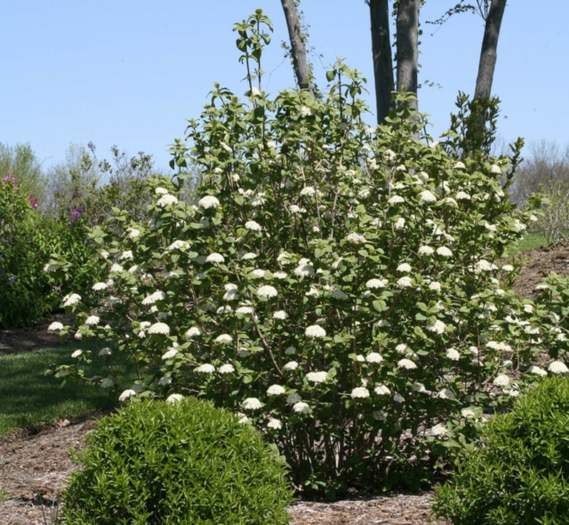 large-viburnum-shrub.jpg