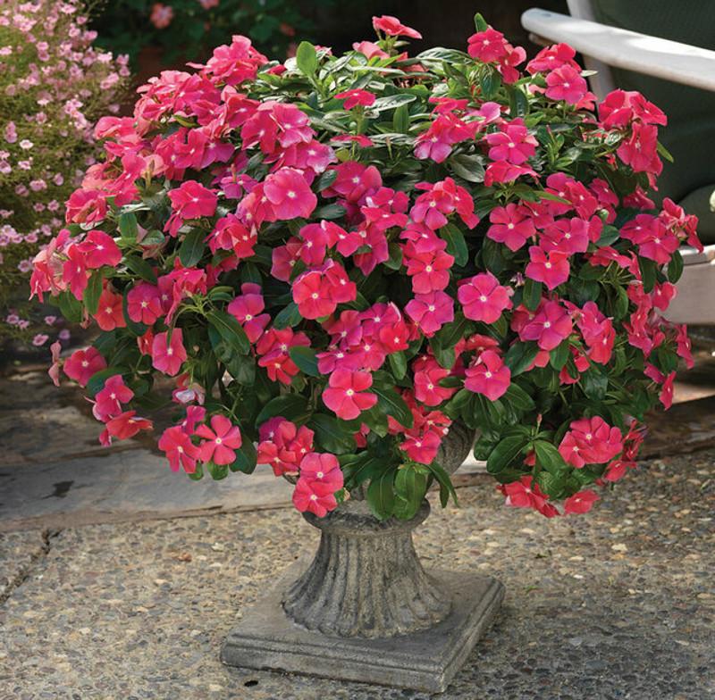 large-vinca-blooming-in-urn-planter.jpg