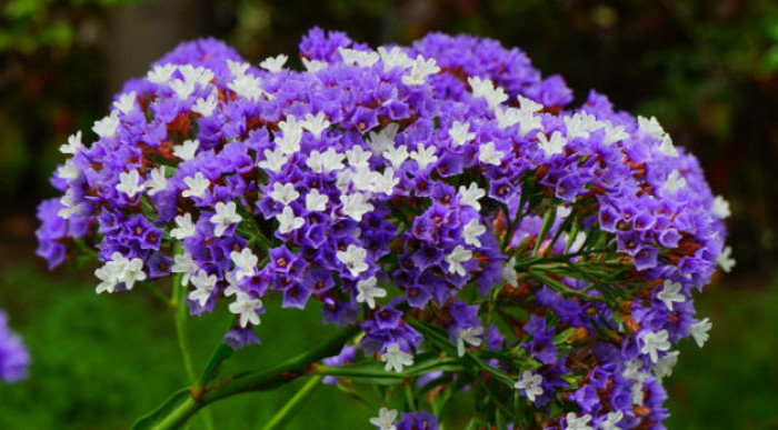 lavender-flowers-are-especially-good-at-retaining-color-after-cutting.jpg