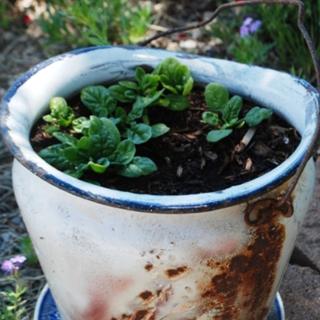 Growing Leafy Plants in Garden Planters