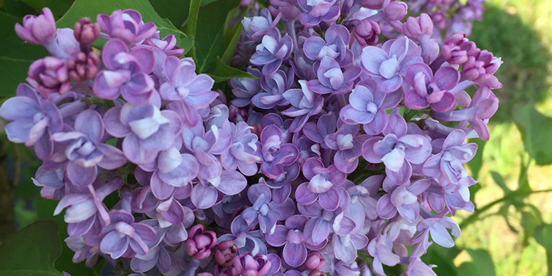 lilac-blooms-close-up.png
