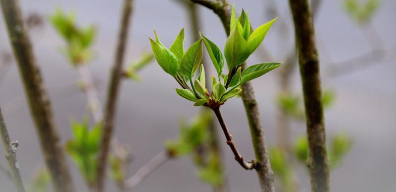lilac-flower-buds.jpg