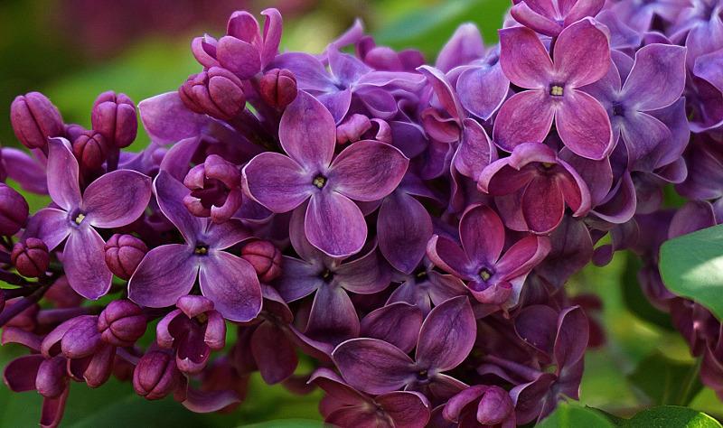 lilac-flower-the-deer-missed.jpg
