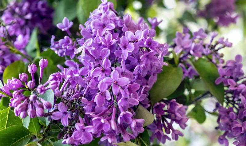lilac-flowering.jpg