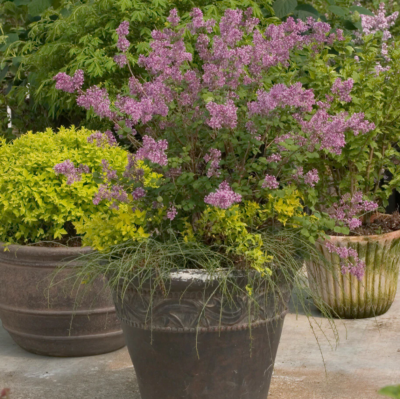 lilac-in-container.png