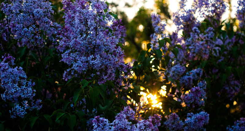 lilac-in-the-sunlight.jpg